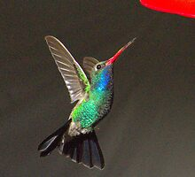 237 Magnificent Hummingbird by ptosis