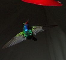 238 Magnificent Hummingbird by ptosis