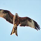 Red kite flying by wendywoo1972