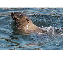 Seal lion Photographic Print