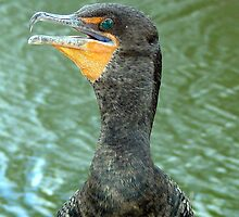 Double-crested cormorant by tanmari