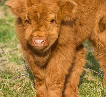 Highland Calf by M.S. Photography/Art