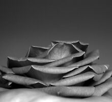 the rose by Adriana Wasyk
