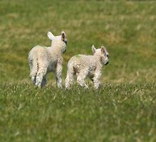 Little Spring Lambs by M.S. Photography/Art