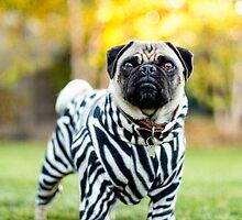 Zebra Pug by laurenpretorius