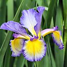 Beauty of Iris by Teresa Zieba
