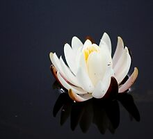 White Lily Reflection by Darlene Lankford Honeycutt