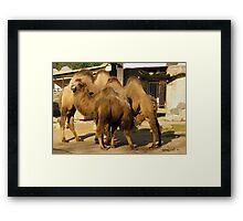 Camels in ZOO Framed Print