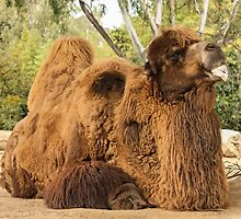 Bactrian camel by anibubble