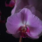 Desire - Purple Orchids by Poete100