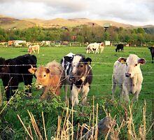 Calves of Llanfairfechan by Michael Haslam