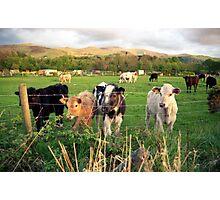 Calves of Llanfairfechan Photographic Print