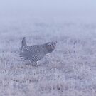 Prairie Chicken 2-2015 by Thomas Young