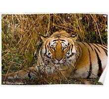 Royal Bengal Tiger, India Poster