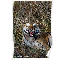 Royal Bengal Tiger Growling! Poster
