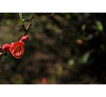 quince buds Photographic Print