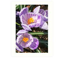 Welcome Spring!! Crocuses in Bloom Art Print