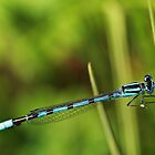Blue Damselfly by BigD