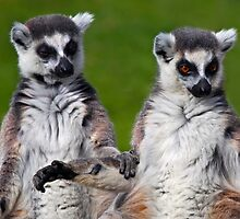 That's what friends are for... (Ring-Tailed Lemurs) by Krys Bailey