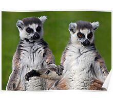 That's what friends are for... (Ring-Tailed Lemurs) Poster