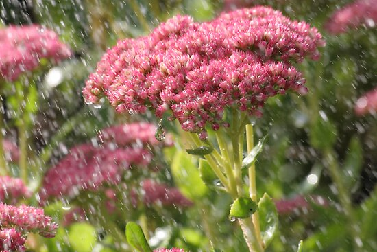 Ice Plant Flower in the Rain by Pamela Jayne Smith