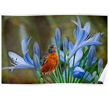 Robin in flowers Poster