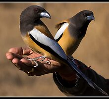 Are two birds in the hand worth four in the bush? by Shaun Whiteman