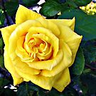 Golden Double Hearted Rose by BlueMoonRose