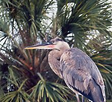 Great Blue Heron by Nicole I Hamilton