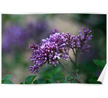 Dwarf Korean Lilac Poster