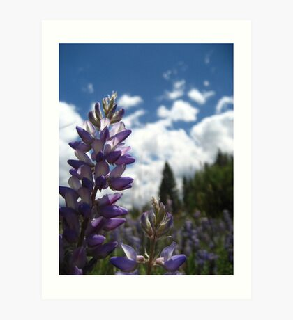 Lupin Flowers Art Print