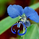 COMMELINA BENGHALENSIS - Benghal blue wandering Jew - Blouselblommetjie by Magriet Meintjes