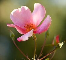 Pink Rose by J Harland