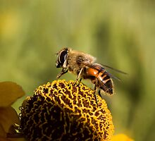 Honey Bee by J Harland