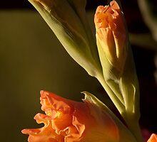 Gladioli by J Harland