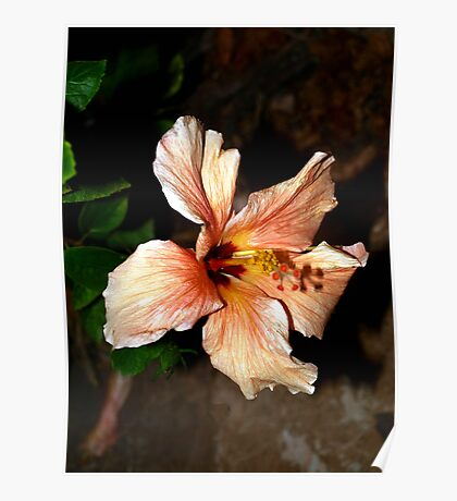 Peach hibiscus in the wind Poster
