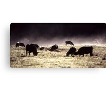 Morning Cows Canvas Print