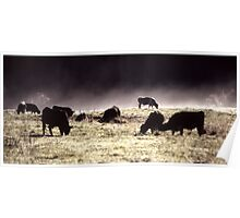 Morning Cows Poster