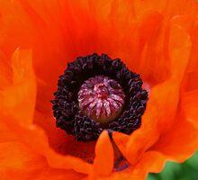 Poppy, Papaver Orientalis by mistyrose