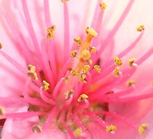 Peach Pollen in Pink by taiche