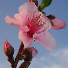 Peach Blossom at Dawn by taiche