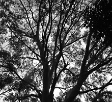 Gum Tree Beauty by Martice
