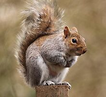 Grey Squirrel by Keith Dunning