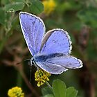Common Blue by AnnDixon