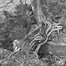 Roots- B&W by Tracy Wazny