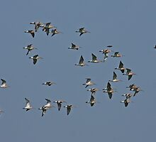 Flight Of The Curlew by Robert Abraham