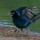 Great Tailed Grackle by Marvin Collins