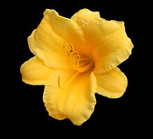 Yellow Flower for cancer day  by terrebo