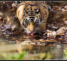 Tiger at Bandhavgarh closer still by Shaun Whiteman