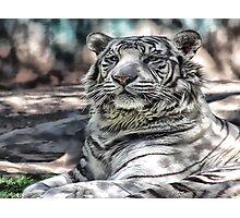 White tiger Photographic Print